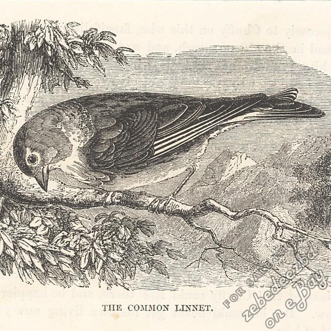 common linnet antique 1866 engraving print bird picture. Black Bedroom Furniture Sets. Home Design Ideas